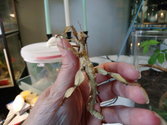 Vaalea E.tiaratum